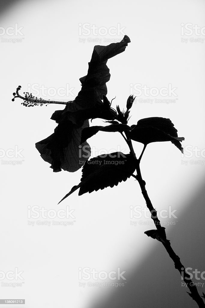 Hibiscus Silhouette royalty-free stock photo