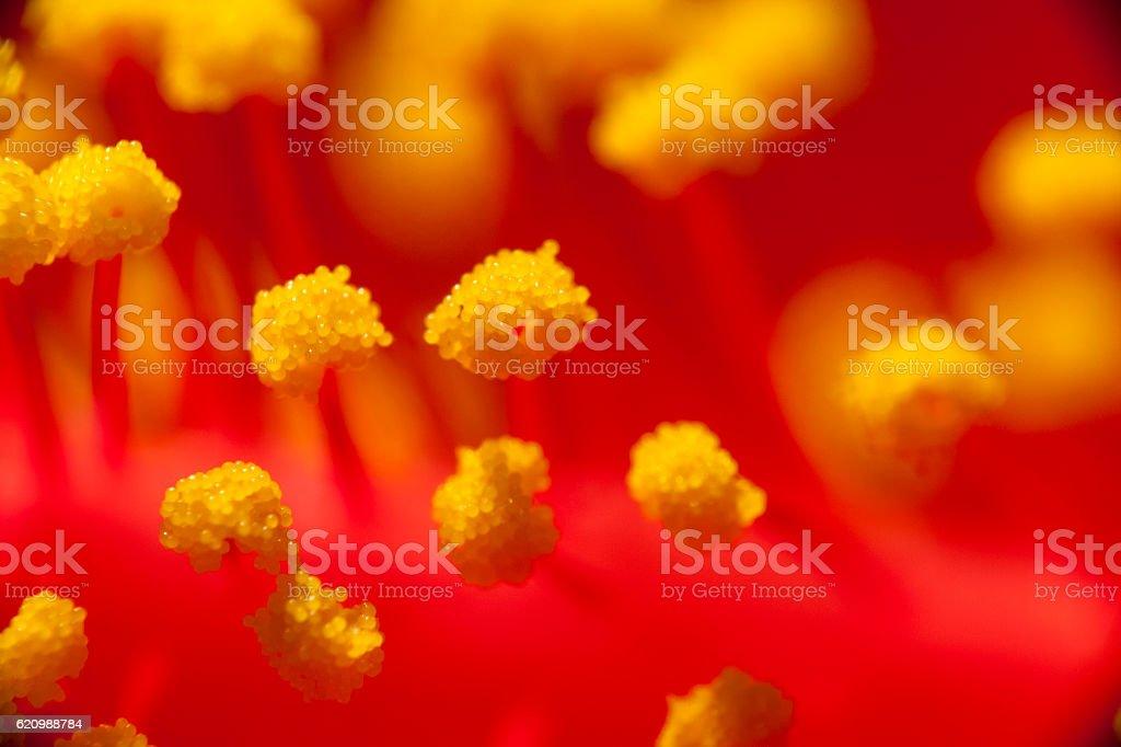 Hibiscus Stamens and Anther macro shot stock photo