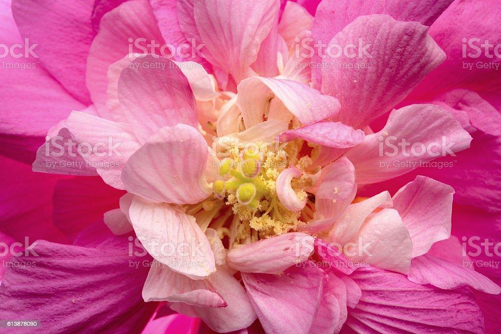 Hibiscus syriacus flower stamen structure stock photo