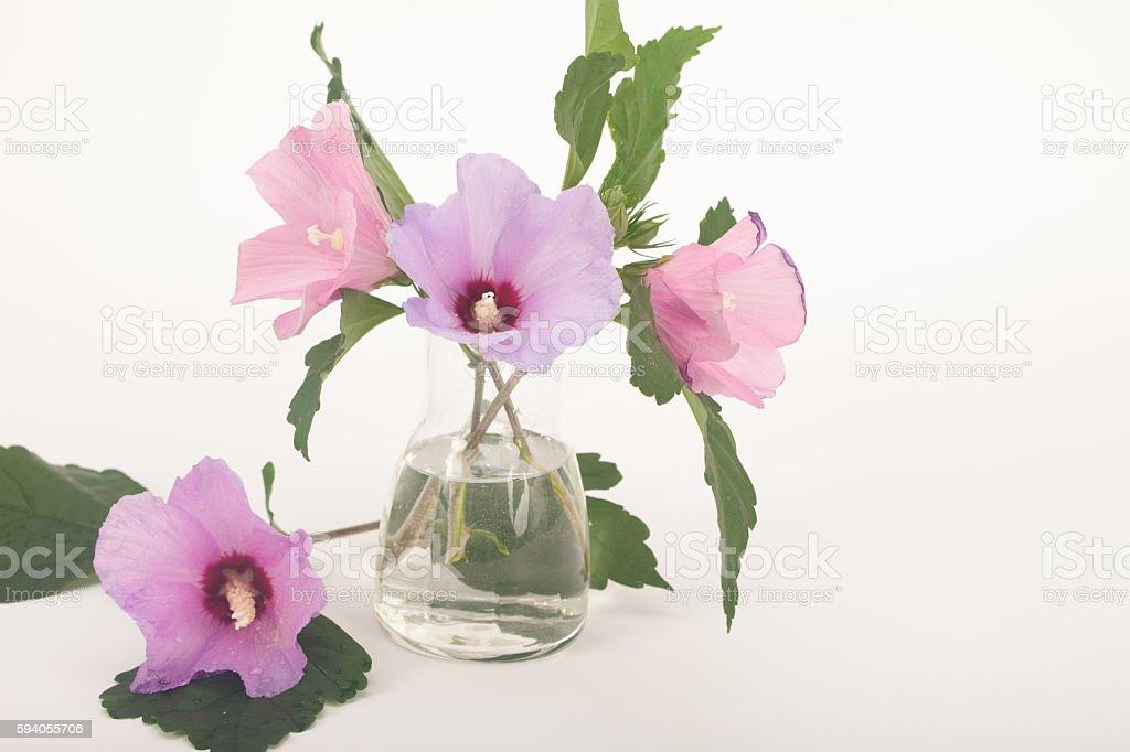 Hibiscus syriacus flowers, rose of Sharon stock photo