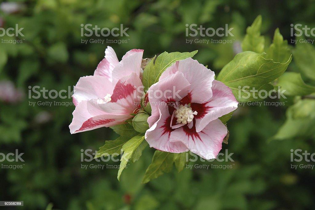 Hibiscus syriacus Hamabo royalty-free stock photo