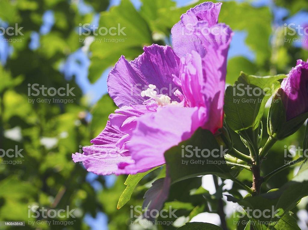 Hibiscus syriacus royalty-free stock photo