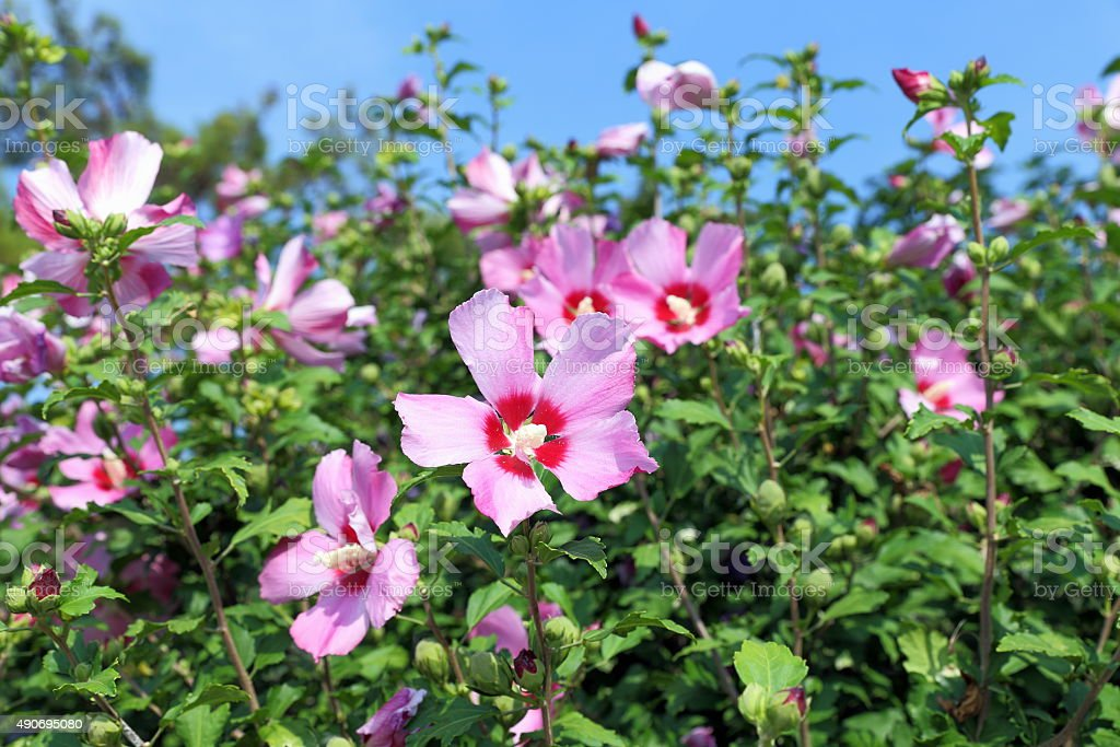 Hibiscus syriacus stock photo