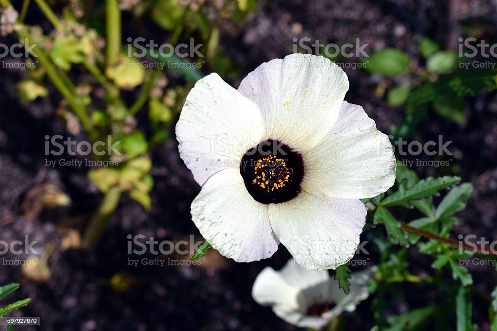 Hibiscus trionum flower stock photo