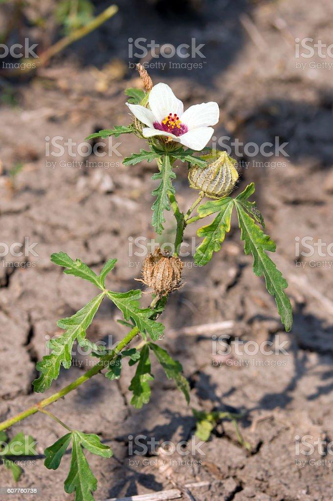 hibiscus trionum (Hibiscus trionum) stock photo