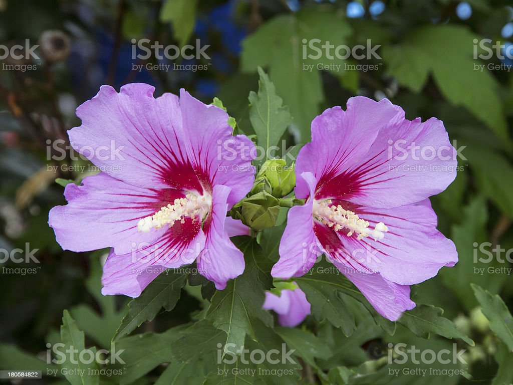 Hibiscus Twin royalty-free stock photo