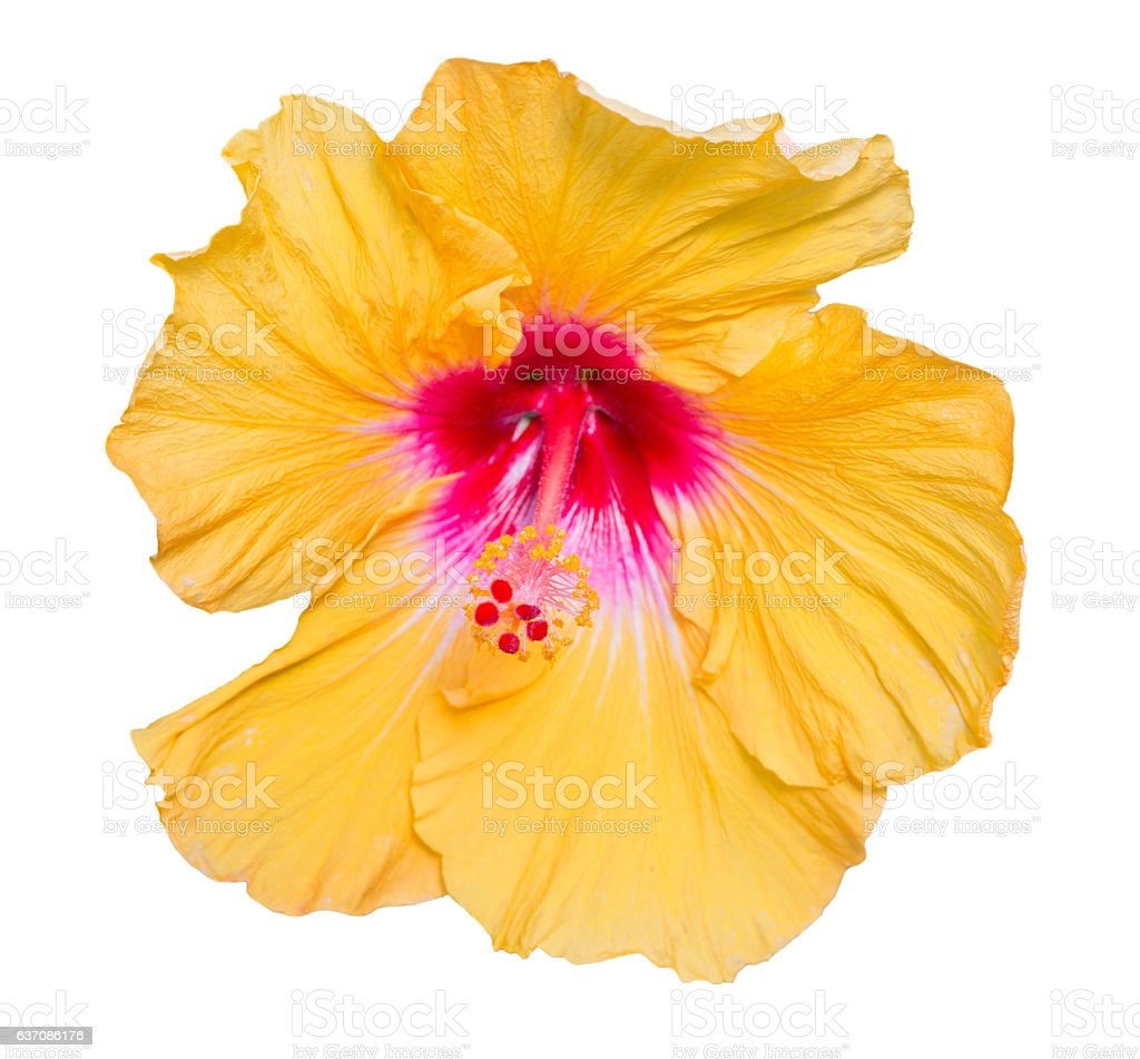 Hibiscus yellow flower isolated on white background. stock photo