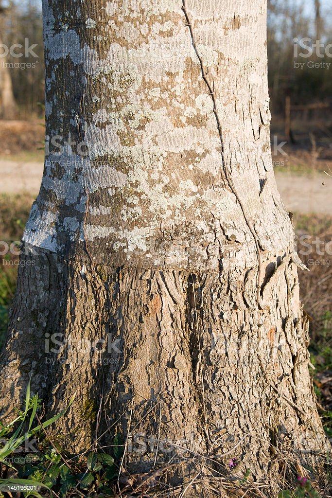 Hickan Tree royalty-free stock photo