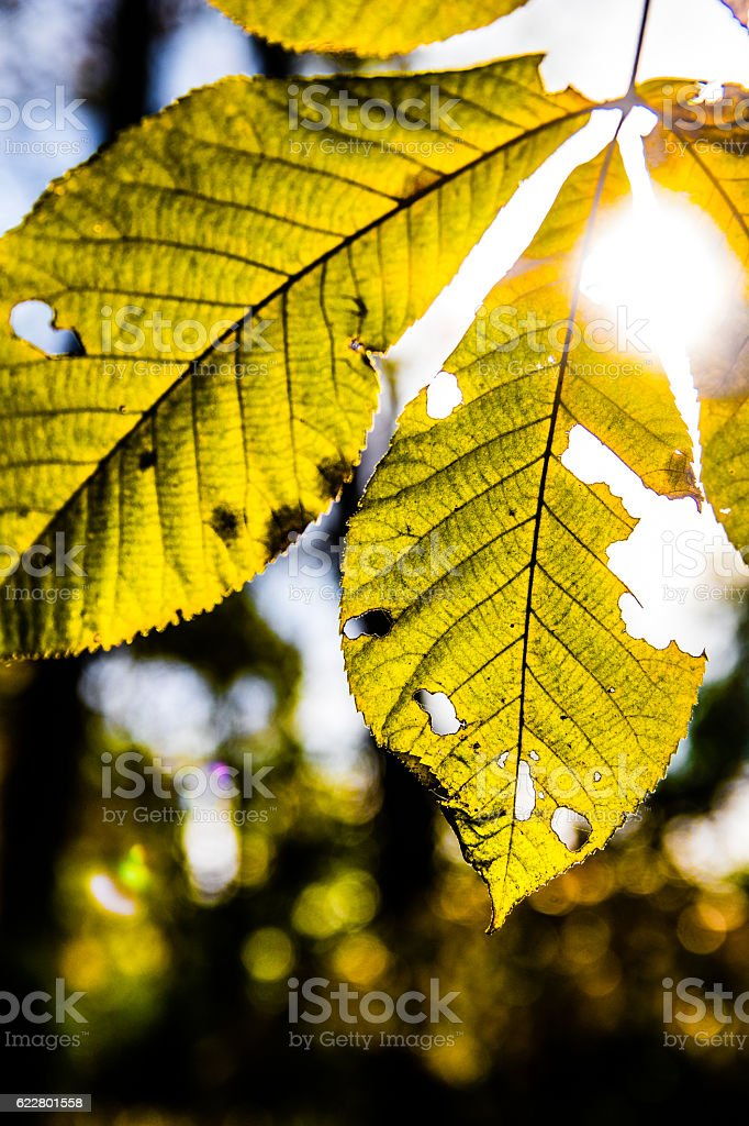 Hickory leaf in fall stock photo