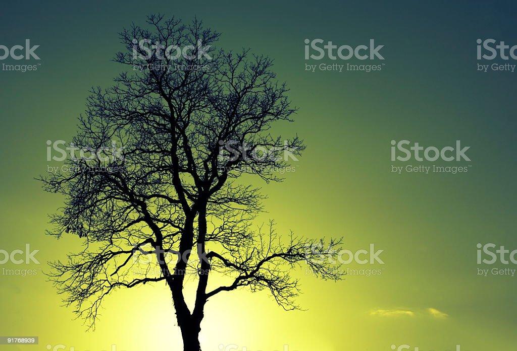 Hickory Tree at Sunset stock photo