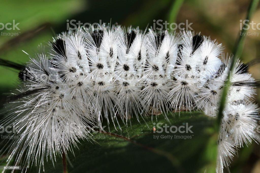 Hickory Tussock Moth caterpillar stock photo