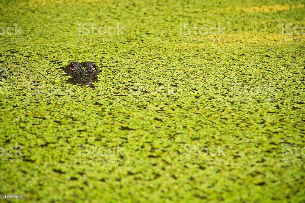 Hidden American Alligator stock photo