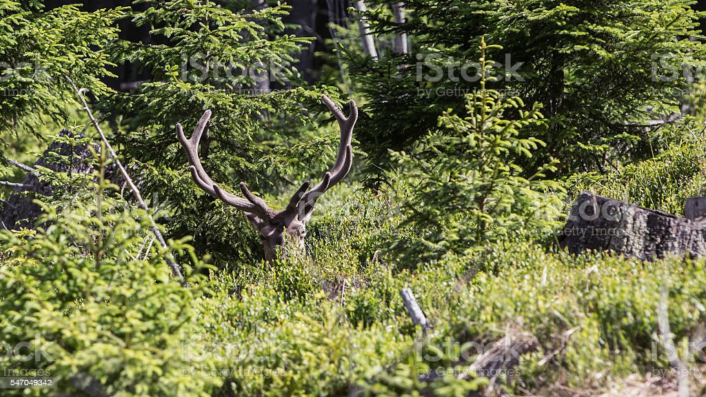 Hidden deer in a clearing in the woods stock photo