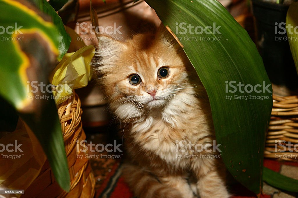 Hidden kitten stock photo