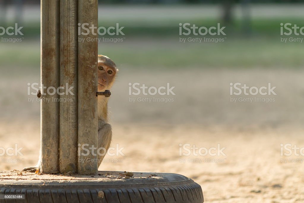 Hidden Monkey stock photo