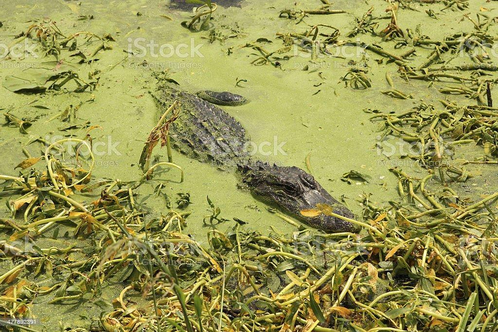 Hidden texan alligator royalty-free stock photo