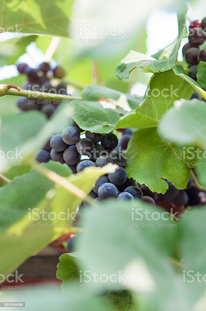 Hidden Vineyard Grapes stock photo