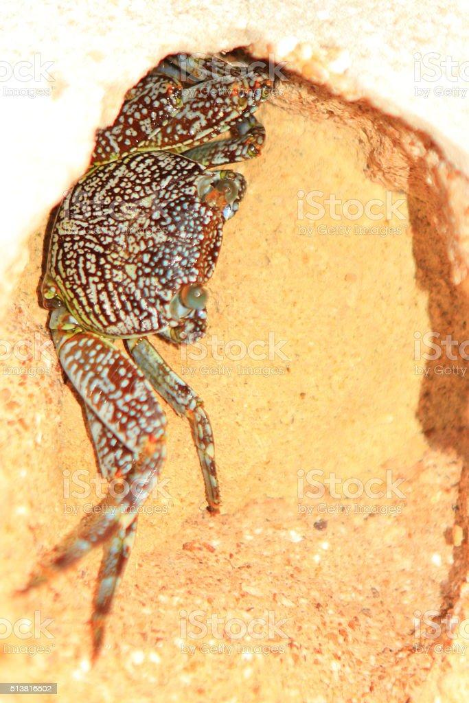 Hidding Crab stock photo