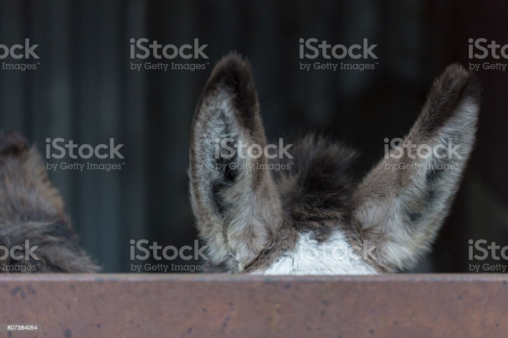 Hide behind rustic fence donkeys ears stock photo
