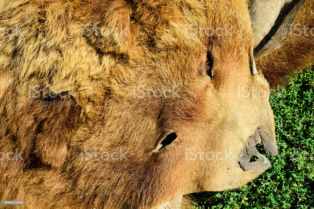 hide killed bear\'s head close-up, skin brown bear