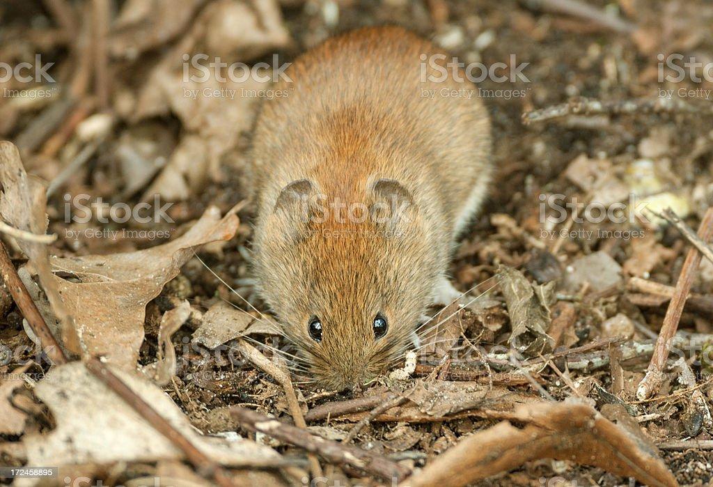 Hiding bank vole (Myodes glareolus) royalty-free stock photo