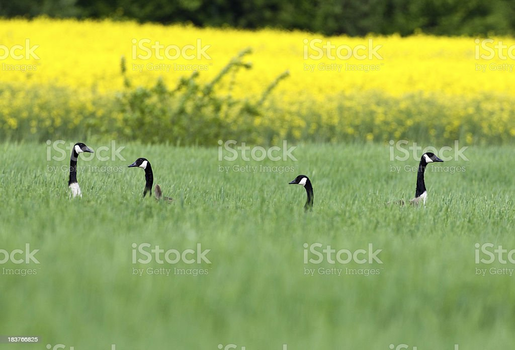 Hiding Canada Gooses stock photo