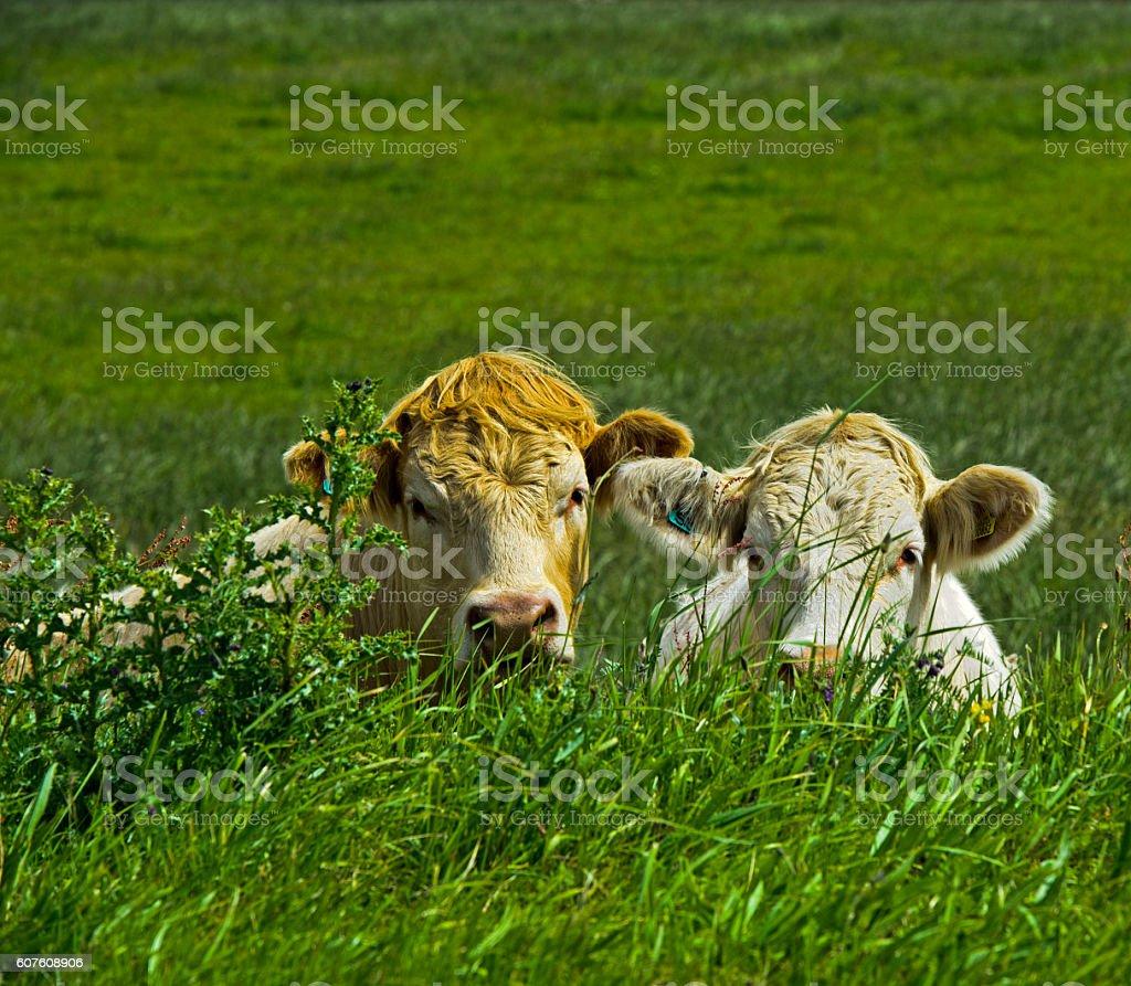 Hiding cows stock photo