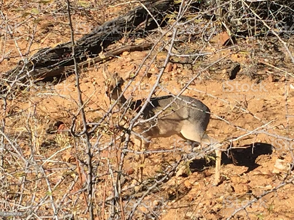 Hiding Damara deer stock photo