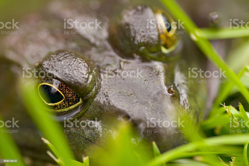 hiding frog royalty-free stock photo