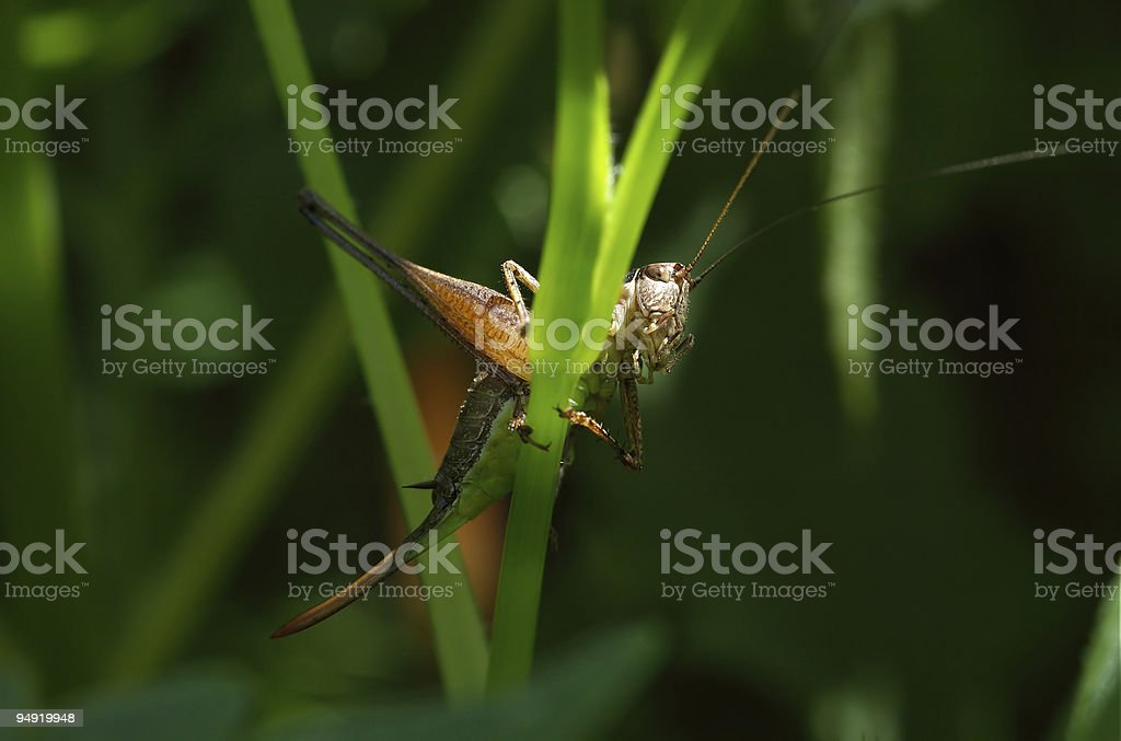Hiding grasshopper royalty-free stock photo