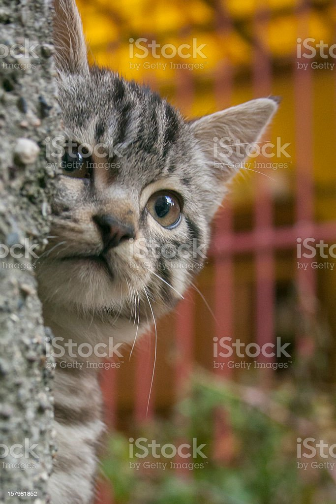Hiding Kitten royalty-free stock photo