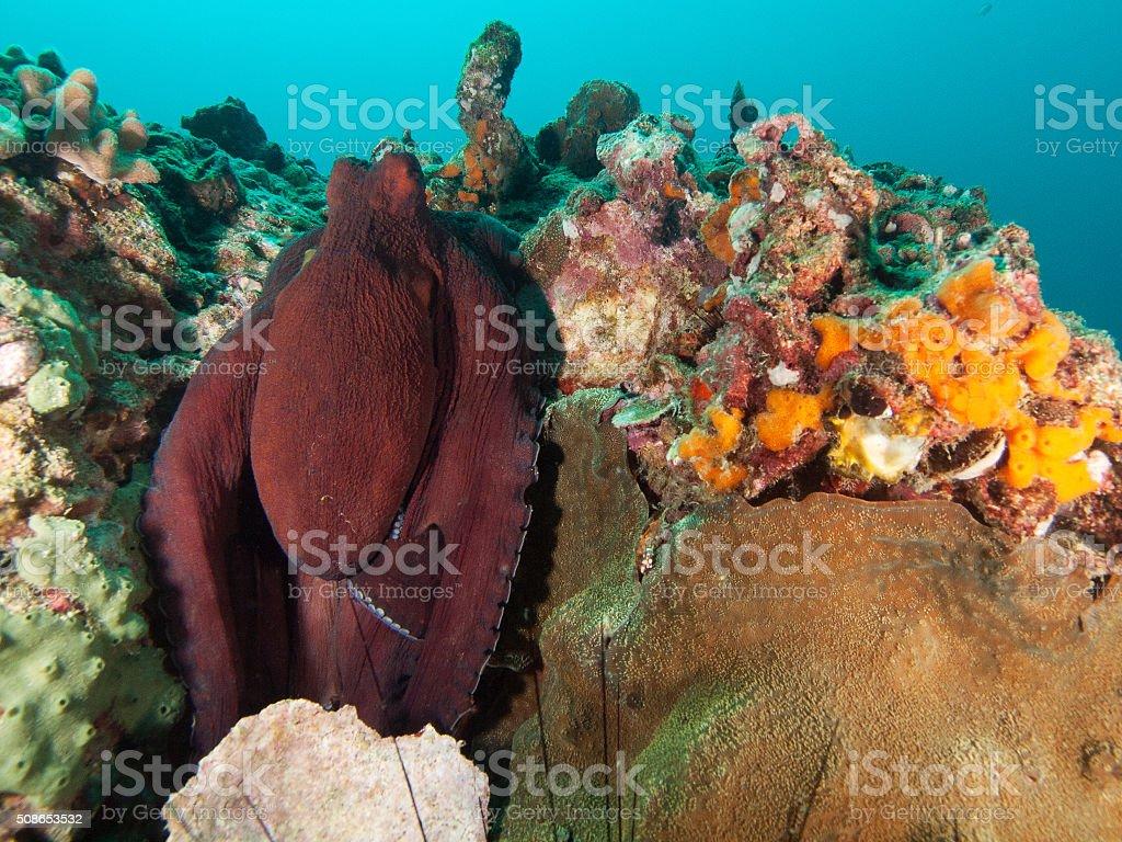 hiding octopus stock photo