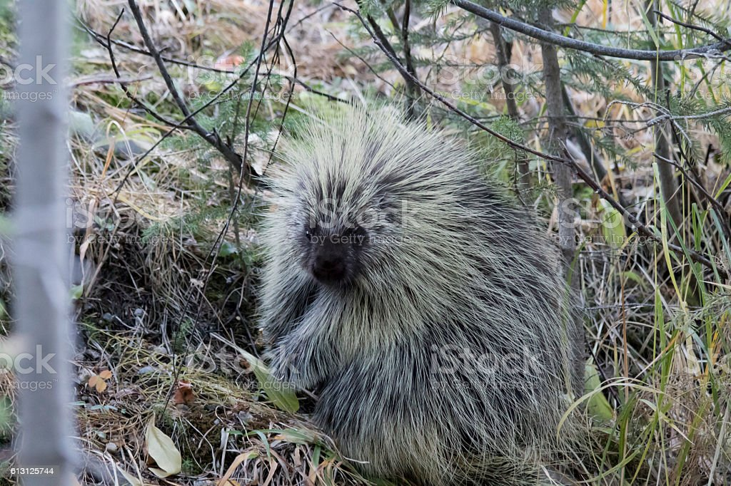 Hiding Porcupine... stock photo