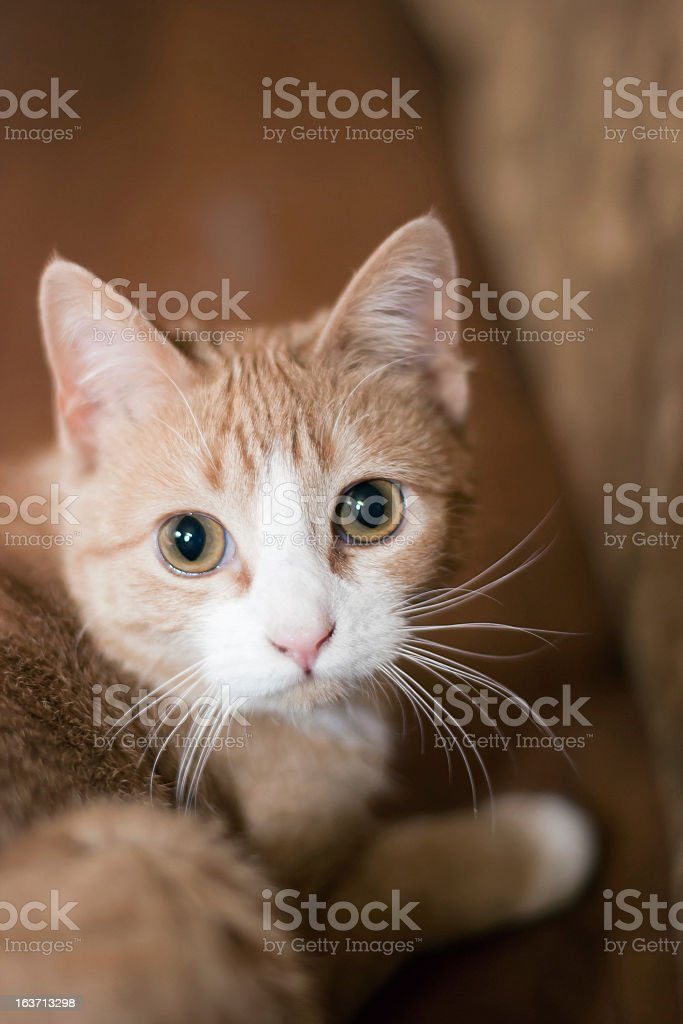 Hiding Young orange cat with white face royalty-free stock photo