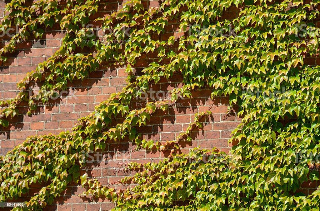 Hiedra al sol de la tarde en Roskilde, Dinamarca stock photo