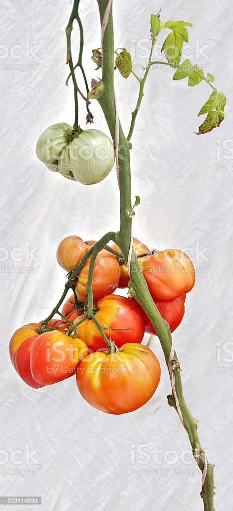 Hierloom tomato plant stock photo