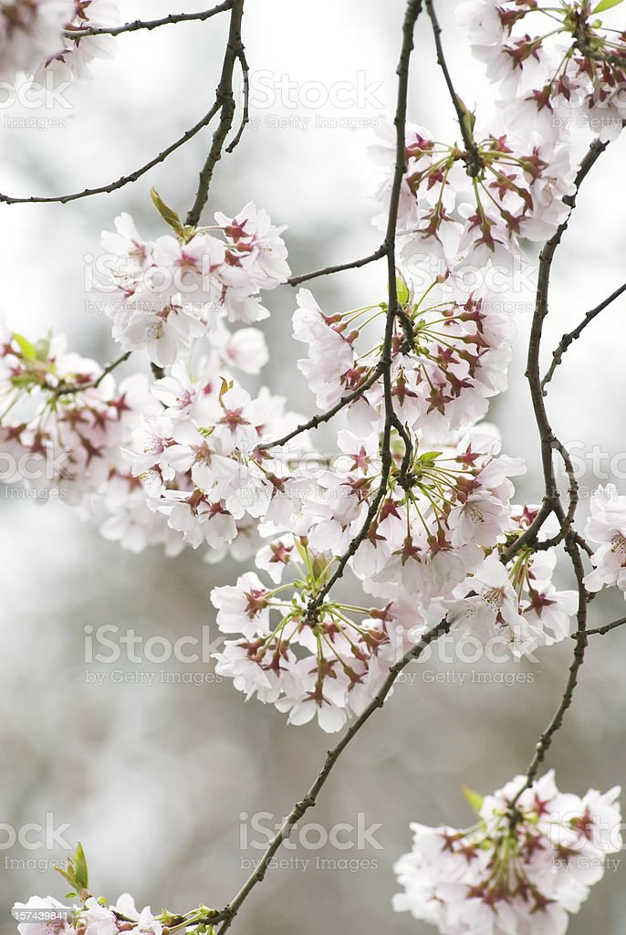 Higan flowering cherry tree - III stock photo