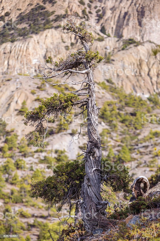 High altitude pine tree in Himalayas, Nepal stock photo