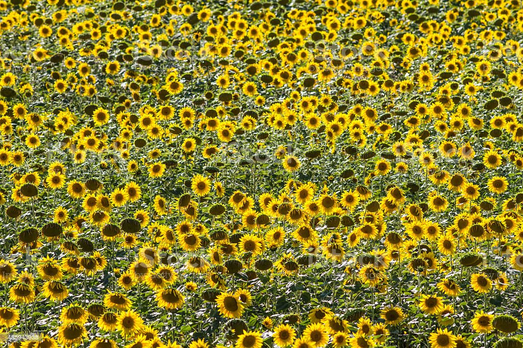 high angle of field of sunflowers in natural daylight stock photo