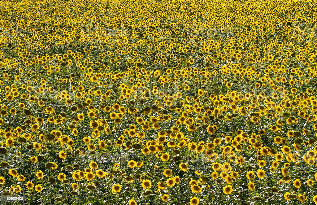 high angle on field of sunflowers in natural daylight stock photo