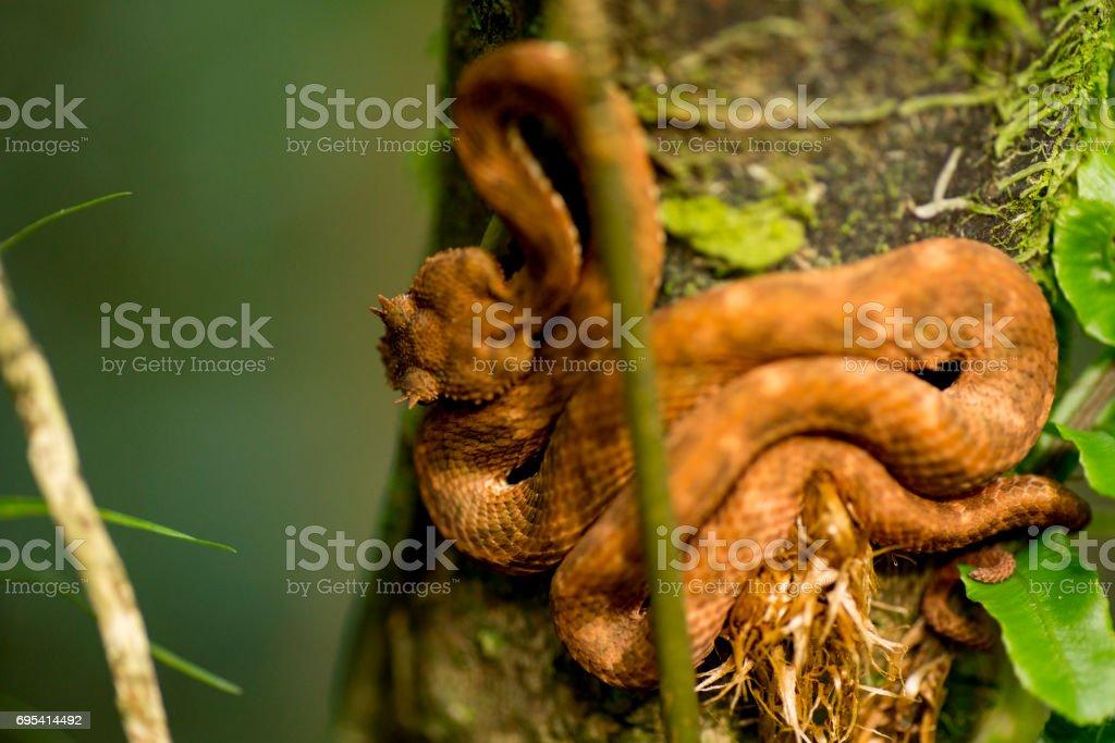 High angle view of brown Eyelash Viper on tree stock photo