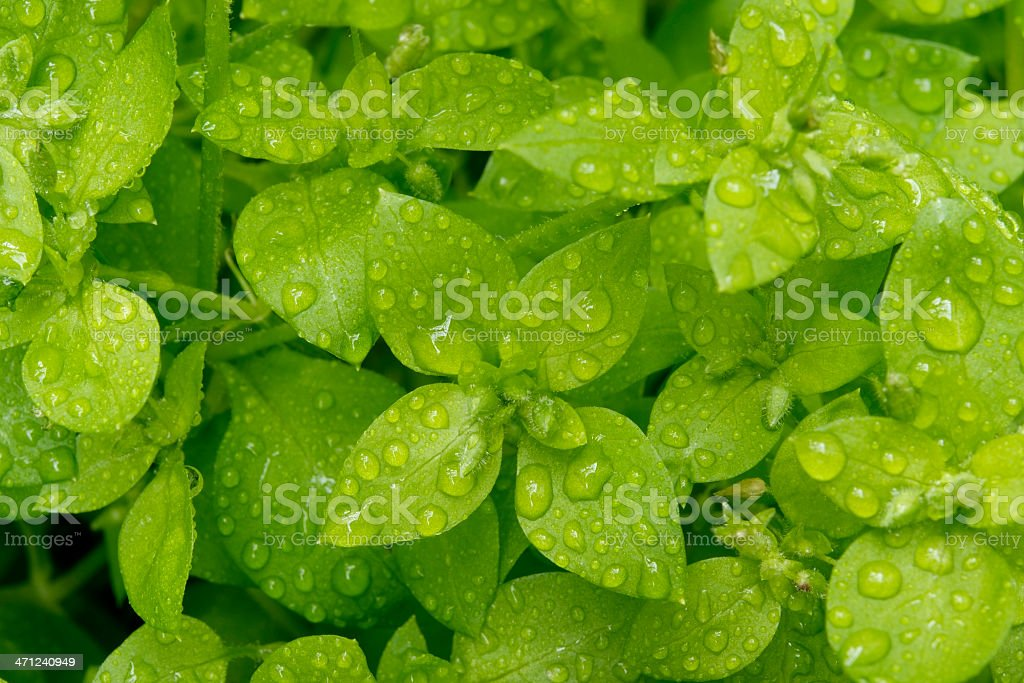 High angle view of chickweed with many water drops stock photo