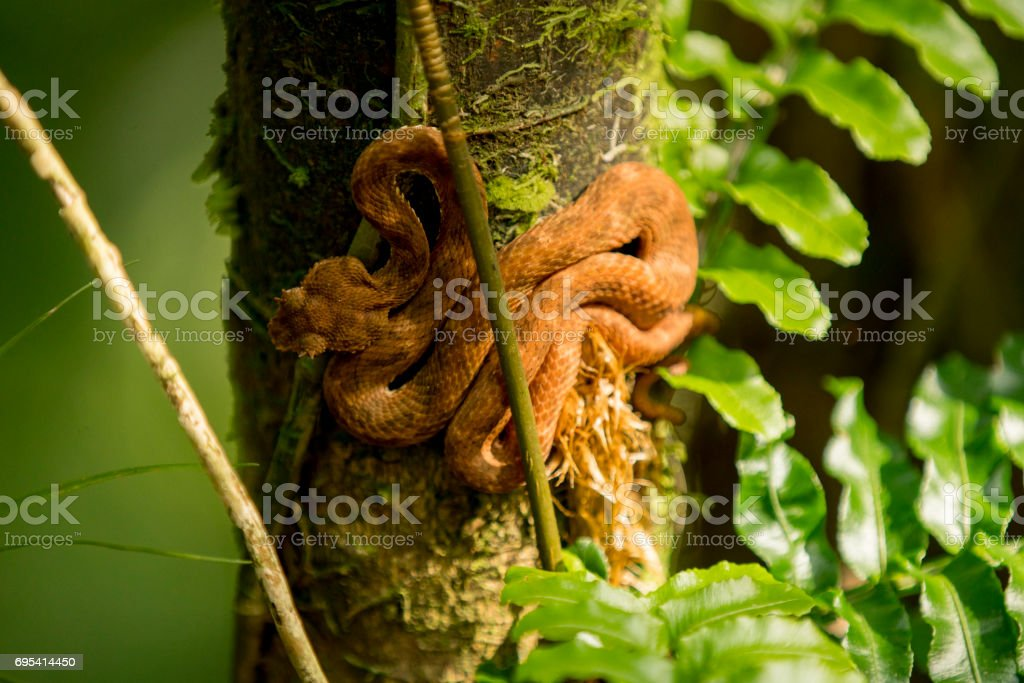 High angle view of Eyelash Viper on tree branch stock photo