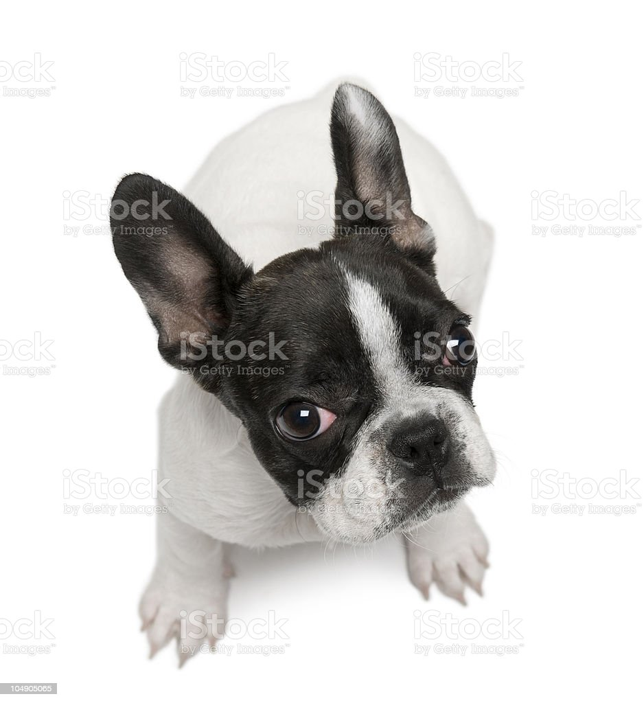 High angle view of French Bulldog puppy, sitting. royalty-free stock photo