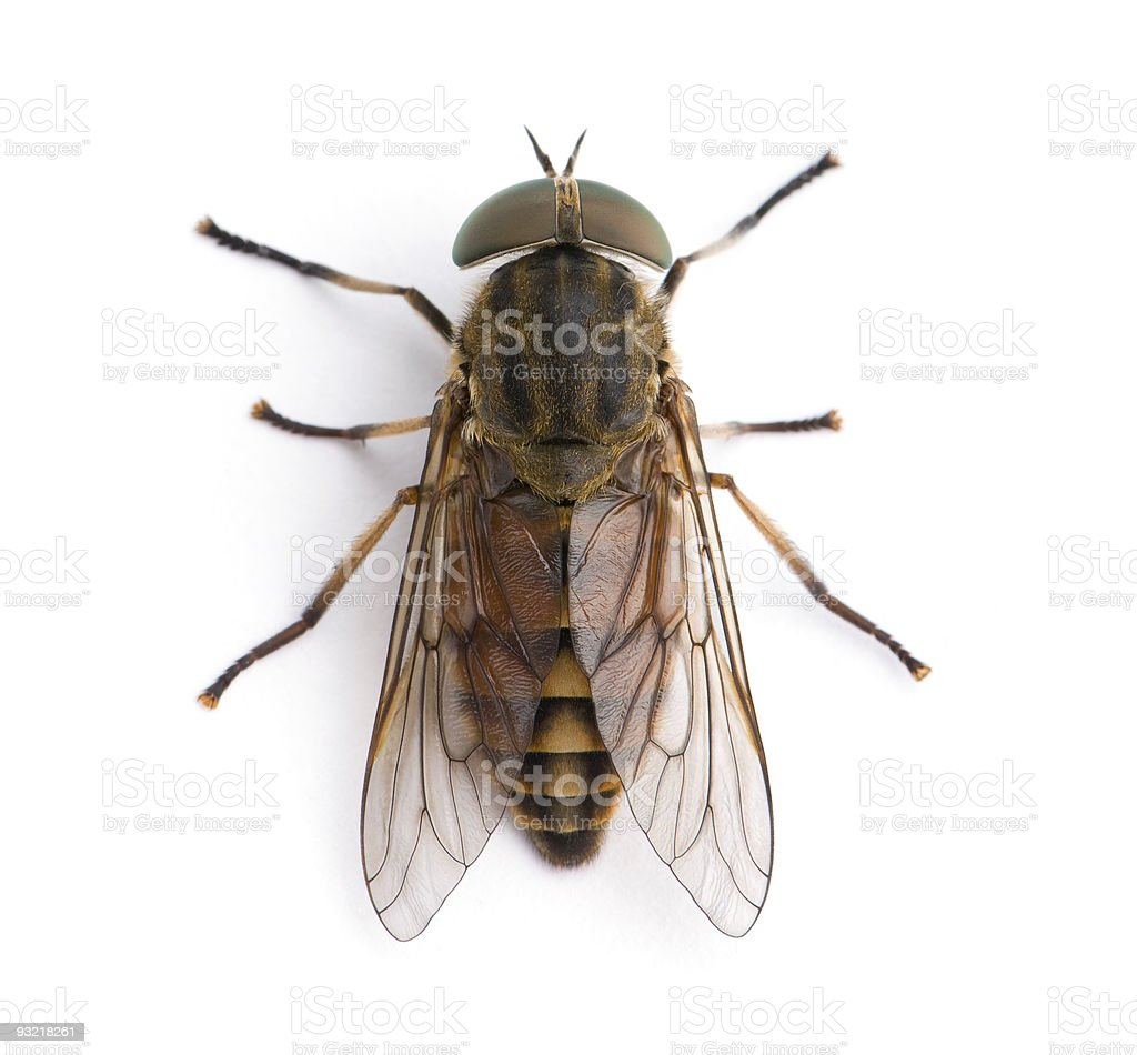 High angle view of pale giant horsefly, against white background stock photo