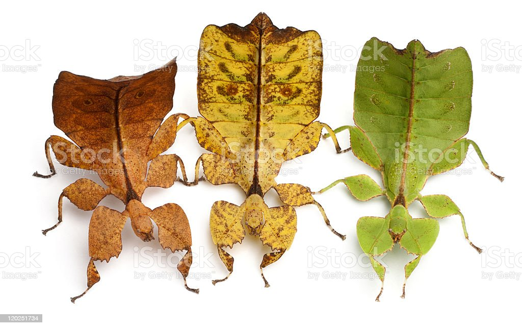 High angle view of Phyllium Westwoodii, three leaf insects stock photo