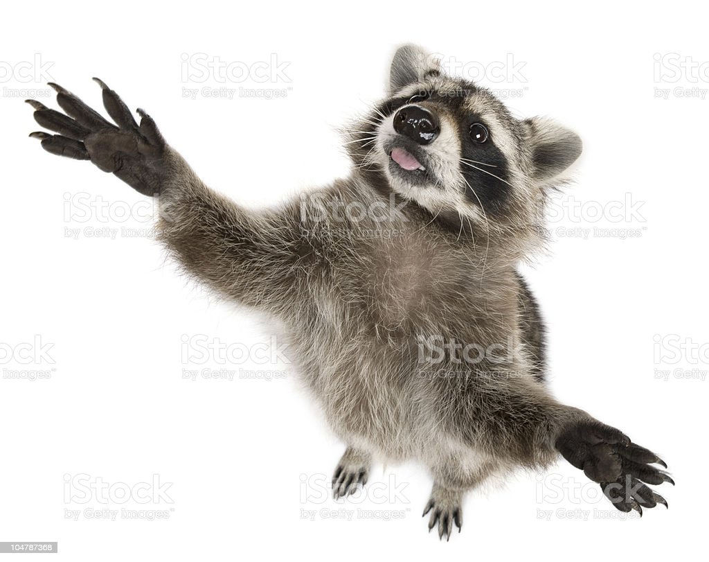 High angle view of Raccoon, reaching up. stock photo
