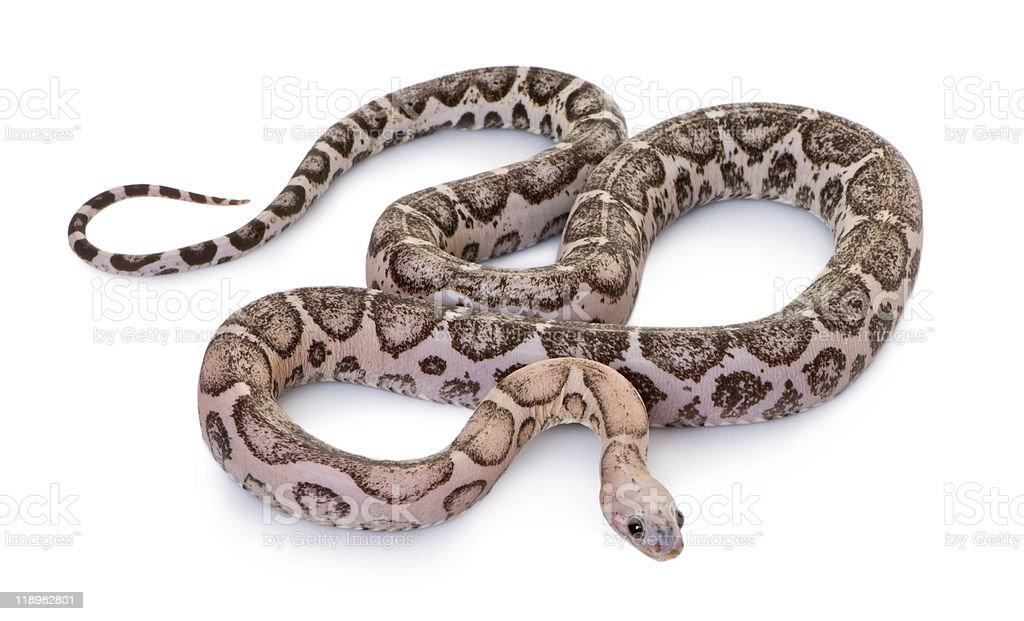 high angle view of Scaleless corn snake stock photo