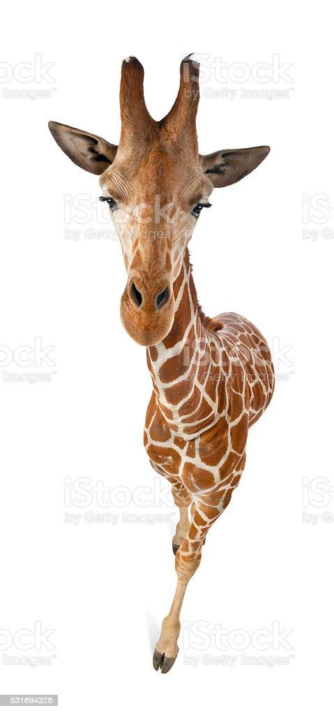 High angle view of Somali Giraffe stock photo