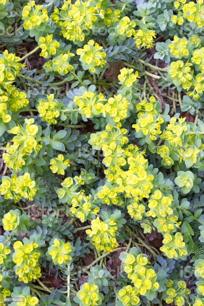 High angle view of succulent Euphorbia Myrsinitis ( Myrtle Spurge) blooming with yellow-green flowers  in springtime stock photo